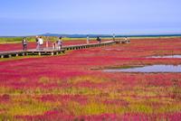 能取湖のサンゴ草 25041036229| 写真素材・ストックフォト・画像・イラスト素材|アマナイメージズ