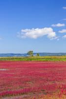 能取湖のサンゴ草 25041036231  写真素材・ストックフォト・画像・イラスト素材 アマナイメージズ