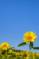 ヒマワリ畑 25041036283| 写真素材・ストックフォト・画像・イラスト素材|アマナイメージズ
