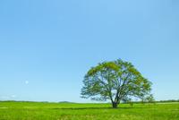 ハルニレの木 25041036286| 写真素材・ストックフォト・画像・イラスト素材|アマナイメージズ
