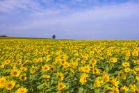 ヒマワリ畑 25041036305| 写真素材・ストックフォト・画像・イラスト素材|アマナイメージズ