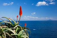 アロエの花と海