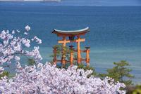 桜咲く厳島神社 25053010974| 写真素材・ストックフォト・画像・イラスト素材|アマナイメージズ