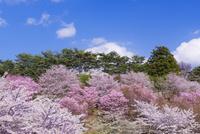 桜咲く亀ヶ城公園