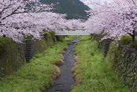 桜咲く一の坂川 25053015203| 写真素材・ストックフォト・画像・イラスト素材|アマナイメージズ