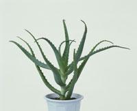鉢植のアロエ
