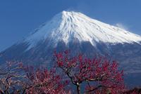 梅の花と富士山