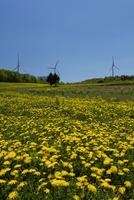 タンポポの花畑と風力発電