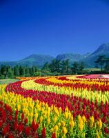 ケイトウの花咲くくじゅう花公園