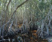 マングローブの森 エヴァーグレイズ国立公園