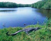 水辺のワニ エバーグレイズ国立公園