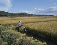 稲刈り 25083026012| 写真素材・ストックフォト・画像・イラスト素材|アマナイメージズ