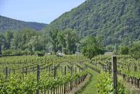 ヴァッハウ渓谷のブドウ畑