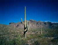 サボテンと荒野 11月 アリゾナ州 アメリカ