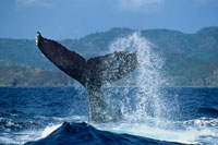 ザトウクジラ 25094000359| 写真素材・ストックフォト・画像・イラスト素材|アマナイメージズ