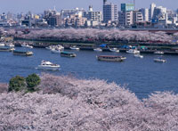 隅田川の桜と遊覧船