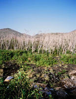 火山ガスにより立ち枯れした木々 25101007945| 写真素材・ストックフォト・画像・イラスト素材|アマナイメージズ