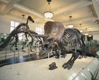 アメリカ自然史博物館 恐竜トリケラトプス