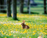 タンポポとウサギ