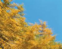 黄葉のイチョウ 25129003131| 写真素材・ストックフォト・画像・イラスト素材|アマナイメージズ
