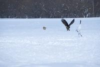 餌を狙うキタキツネとオジロワシ 25130022006| 写真素材・ストックフォト・画像・イラスト素材|アマナイメージズ