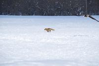 キタキツネとオジロワシ 25130022012| 写真素材・ストックフォト・画像・イラスト素材|アマナイメージズ