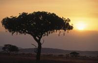 ソーセージツリーと夕日 セレンゲティ国立公園