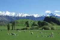 牧場の羊 25158019896  写真素材・ストックフォト・画像・イラスト素材 アマナイメージズ