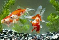 金魚 25163000043| 写真素材・ストックフォト・画像・イラスト素材|アマナイメージズ
