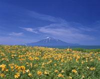 エゾカンゾウと利尻富士