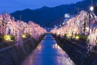 倉津川枝垂桜のライトアップ
