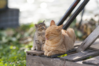 親猫に甘える子猫 25167015574| 写真素材・ストックフォト・画像・イラスト素材|アマナイメージズ