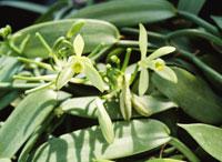 バニラの花 ラン科