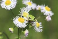 アマガエル 花はハルジオン