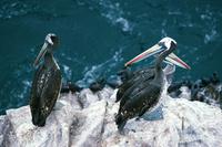 カッショクペリカンの飛翔 25196002311| 写真素材・ストックフォト・画像・イラスト素材|アマナイメージズ