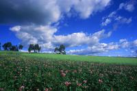 ジャガイモ畑の花 25196002341| 写真素材・ストックフォト・画像・イラスト素材|アマナイメージズ