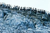 グアナイ・ウの群れ 25196002399| 写真素材・ストックフォト・画像・イラスト素材|アマナイメージズ
