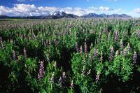 マメ科植物(食物)タルウィの花畑