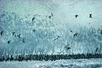 グアナイ・ウの群れ 25196002450| 写真素材・ストックフォト・画像・イラスト素材|アマナイメージズ