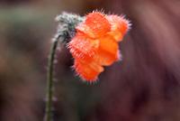 マチュピチュ近くの山岳地の花