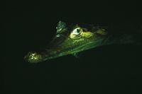 夜の川にあらわれた大きなワニ
