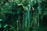 雲霧林帯の樹林と苔やシダ類