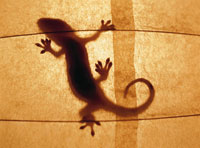 和紙に映ったヤモリの影 25201002737| 写真素材・ストックフォト・画像・イラスト素材|アマナイメージズ