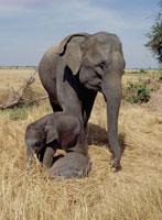 双子象の親子