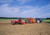 玉葱の収穫風景 25222006498  写真素材・ストックフォト・画像・イラスト素材 アマナイメージズ