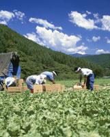 高原野菜畑の出荷風景 25222008972  写真素材・ストックフォト・画像・イラスト素材 アマナイメージズ