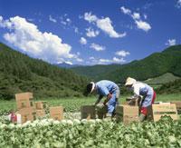 高原野菜畑の出荷風景 25222008973  写真素材・ストックフォト・画像・イラスト素材 アマナイメージズ