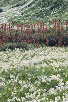 爪木崎のスイセンとアロエの花