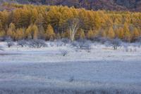 小田代ヶ原の霜とカラマツ林 25222015180  写真素材・ストックフォト・画像・イラスト素材 アマナイメージズ