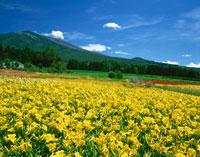 錦玉園のヘメロカリス畑と浅間山